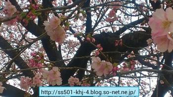 20130317 sakura.jpg